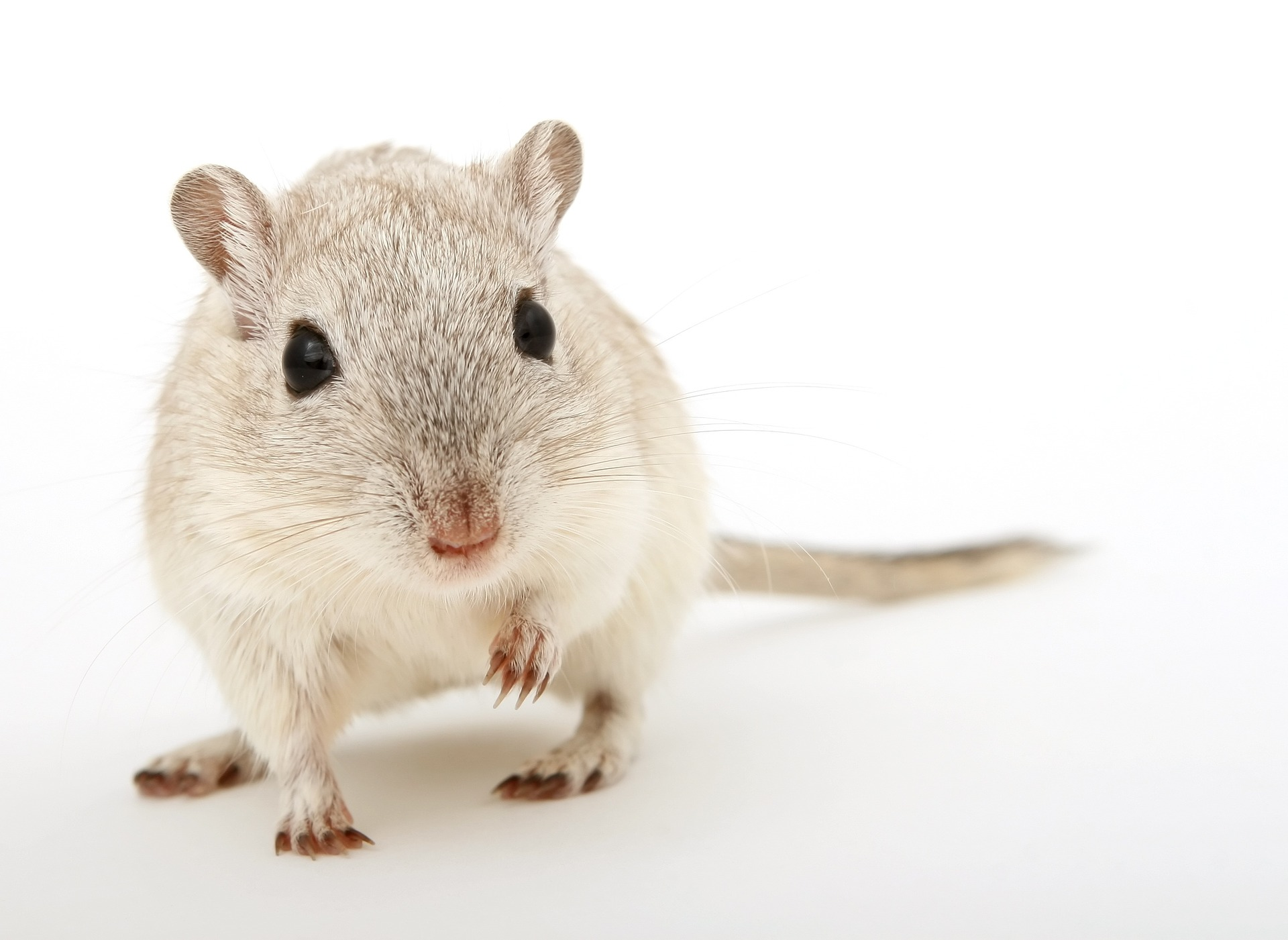 Gray and white mouse looking at camera